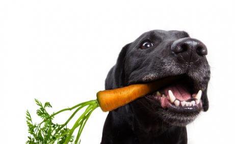 ağzında havuç tutan köpek