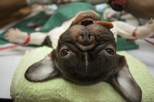hayvanlar için anestezi