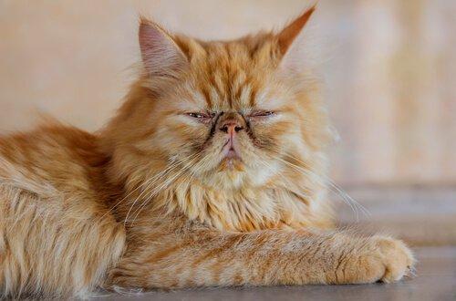 sarı iran kedisi