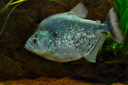 irritans piranha