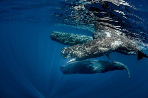 dünyadaki en büyük yırtıcı hayvan olan ispermeçet balinası