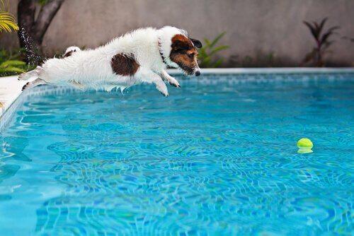 havuza atlayan jack russell