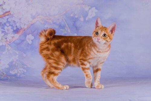 japon kısakuyruk kedisi
