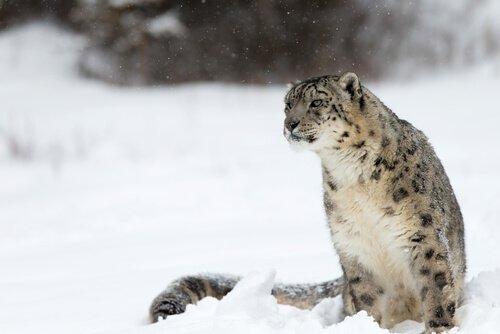 Çin coğrafyasındaki kar leoparı