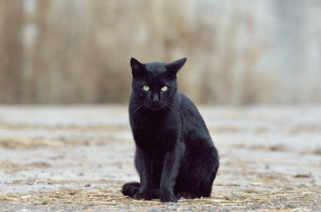 kötü bakış atan kara kedi