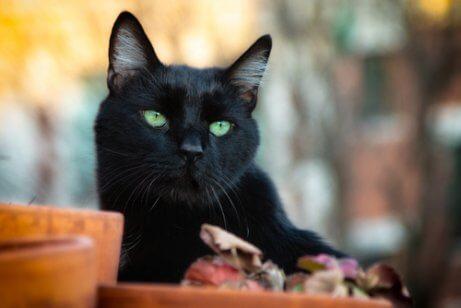 yeşil gözlü kara kedi
