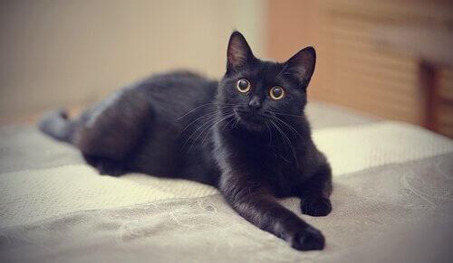 Kara Kediler: İlginç Efsaneler