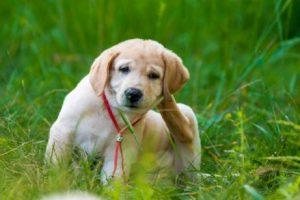 kaşıntısı olan köpek