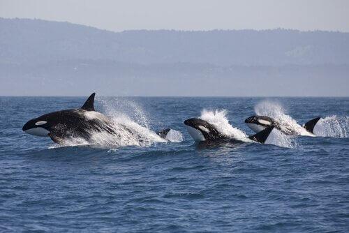 Yunuslar, Katil Balinaların Varlığını Nasıl Anlar?