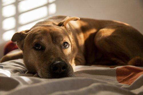 kaygılı bakan köpek