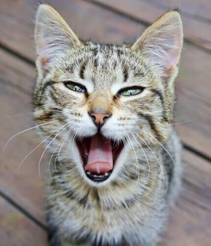 kedilerde ses kaybı ve nedenleri
