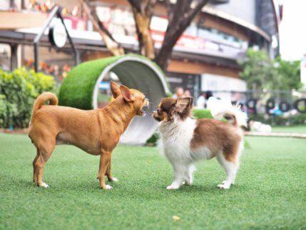 küçük köpekler çiftleşme dönemi