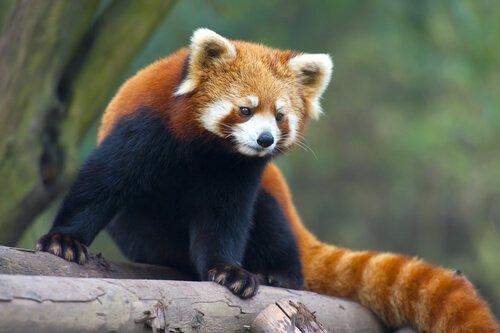 Çin coğrafyasındaki kızıl panda