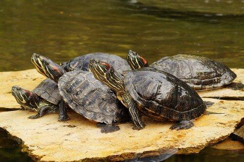 kaya üstünde su kaplumbağaları