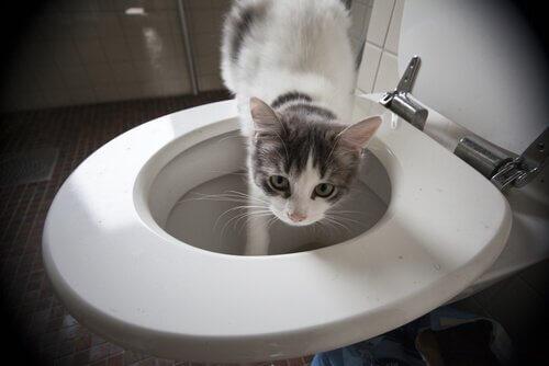 tuvaletten su içen kedi