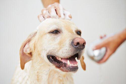 Çiftleşme Dönemindeki Bir Köpeği Yıkayabilir misiniz?
