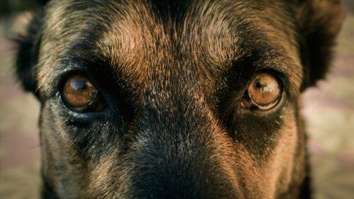 köpek gözleri