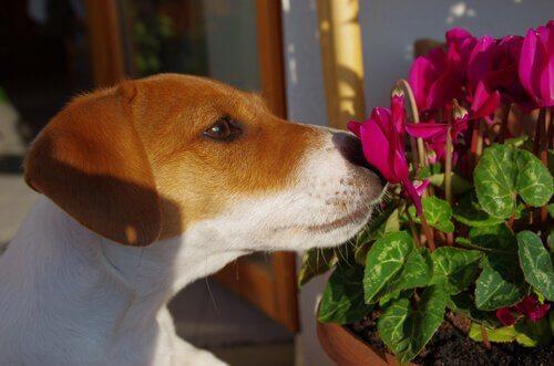 Köpeğiniz için Bach Çiçek Terapisi
