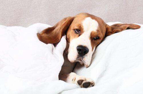 Köpeklerde Filaryaz: Nedenleri ve Tedavisi