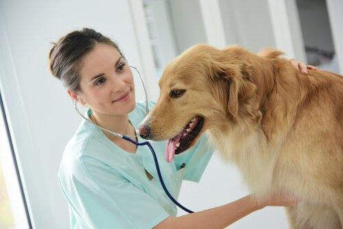 Köpeklerde Megaözefagus Belirtileri ve Tedavisi