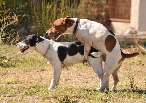 köpeklerde üreme