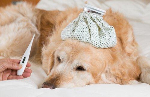 Köpeklerde Yüksek Ateş Teşhis ve Tedavisi
