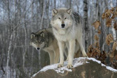 kayalar üstünde iki kurt