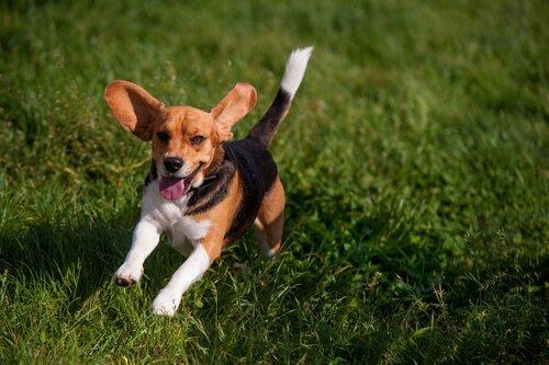 çimlerde koşan dik kuyruk köpek