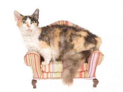 dünyanın en küçük kedi cinsleri