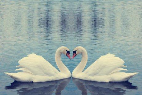 kalp şeklini almış iki kuğu