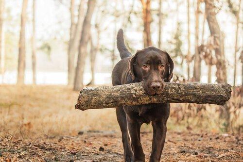 Retriever Köpekler: Irkları ve Özellikleri
