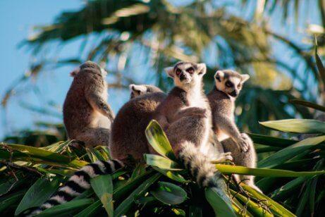 ağaçtaki lemurlar