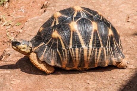 madagaskar kaplumbağası