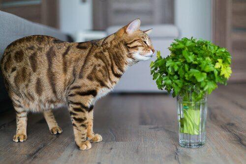 maydanoz koklayan kedi
