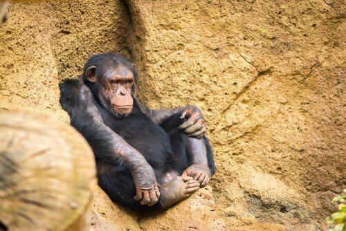 köşede oturan şempanza