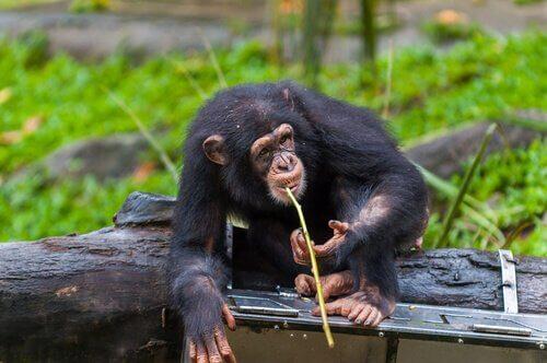 mızrak kullanan fongoli şempanzeleri