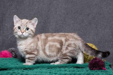 munchkin cinsi kedi