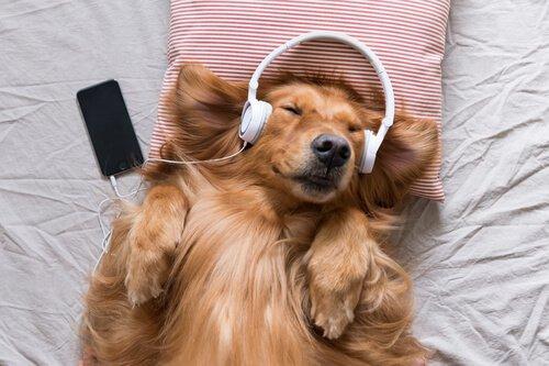 müzik dinleyen köpek