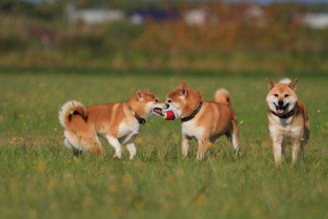 oyun oynayan köpekler