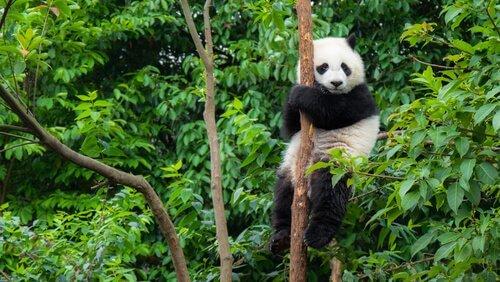 Çin'e özgü panda ayısı