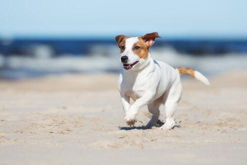 plajda koşturan köpek