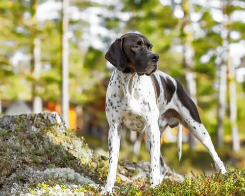 puanter pointer