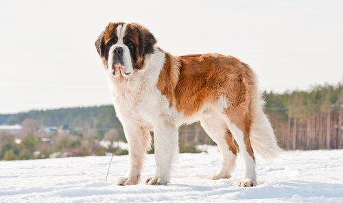 büyük köpek ırkları Saint Bernard
