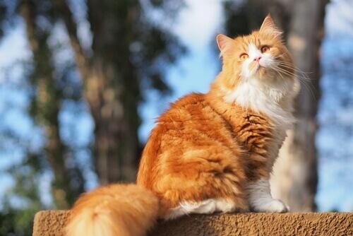sarman kedi