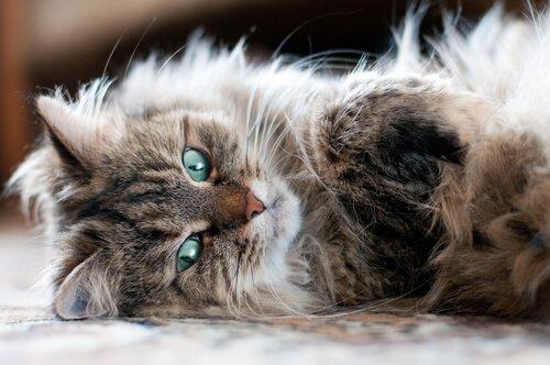 tüy dökmeyen sibirya kedisi