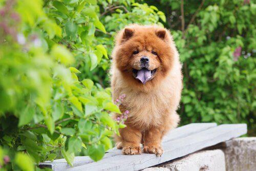sıcağa dayanıksız köpek ırkları chow chow