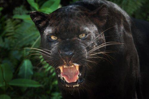 Siyah Leoparlar Hakkında İlginç Bilgiler