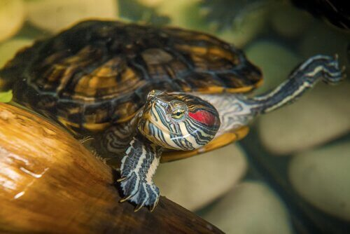 Su Kaplumbağası Beslemek Neden Zordur?