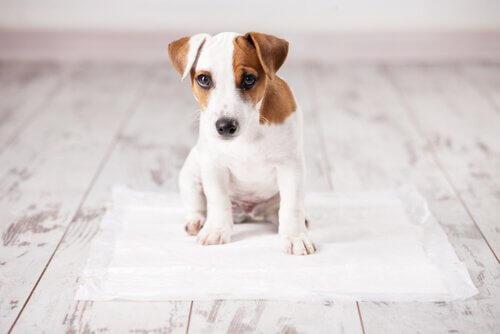 suçlu bakan yavru köpek ve tuvalet eğitimi