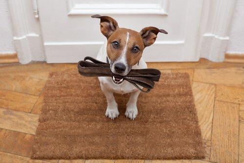 sevk kayışını ağzında tutan jack russell terrier